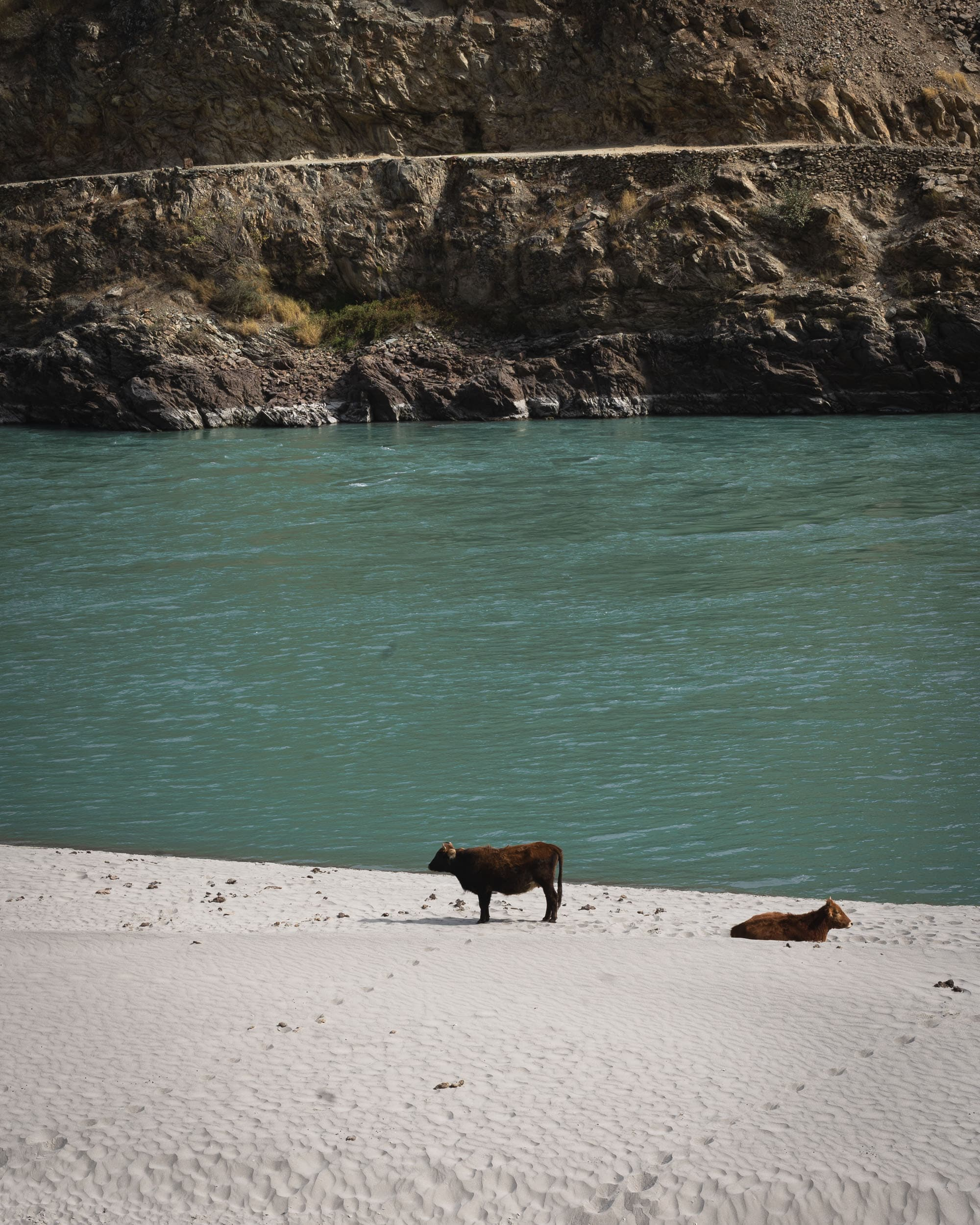 cows at Panj river Tadjkistan